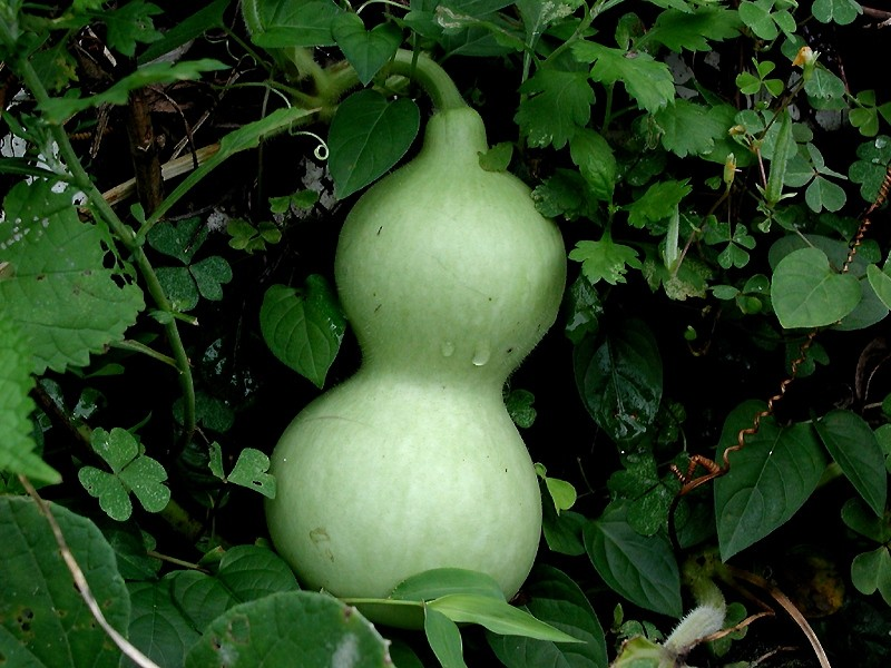 File:Courge encore verte.jpg