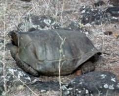 Pinzón Riesenschildkröte