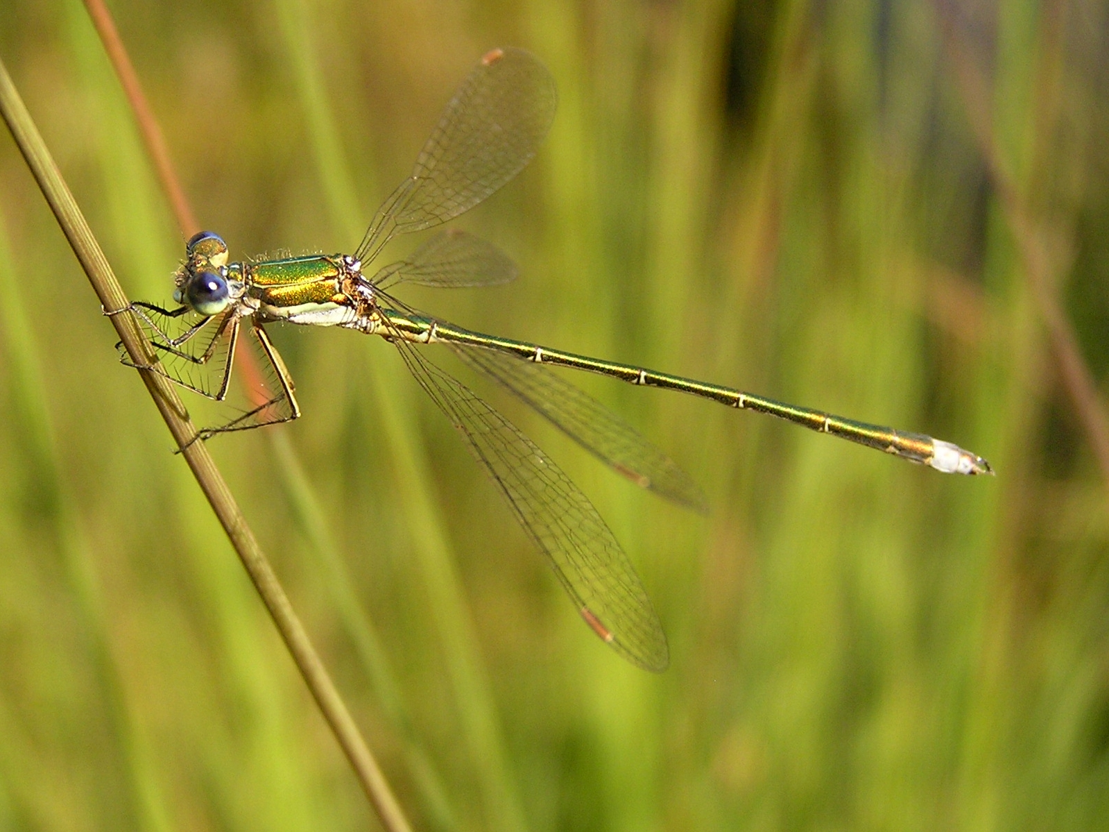 https://i2.wp.com/upload.wikimedia.org/wikipedia/commons/a/a3/Lestes_virens02.jpg