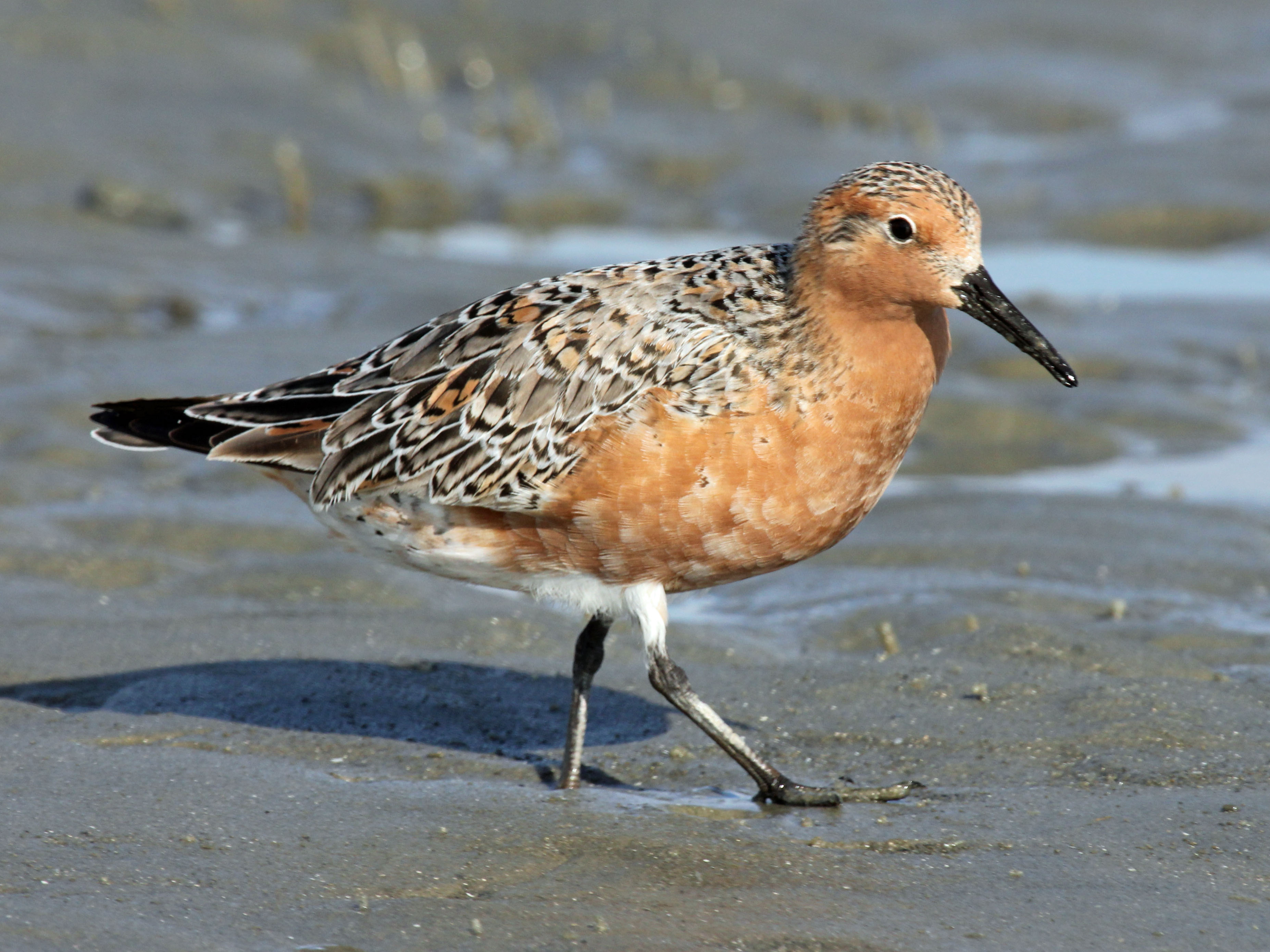 Image result for rufa red knot migration