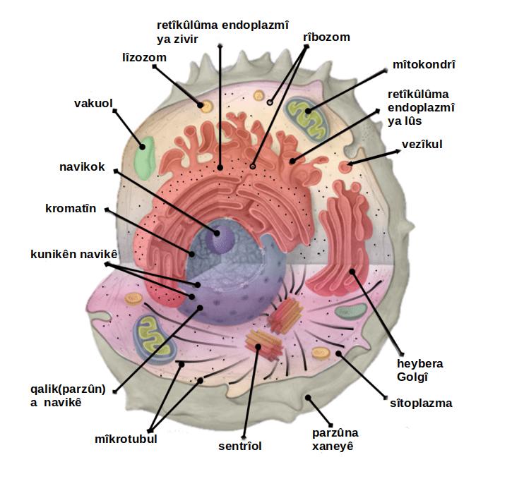 Image of: Organelles Filecellorganelleslabeled Kupng Wikimedia Commons Filecellorganelleslabeled Kupng Wikimedia Commons