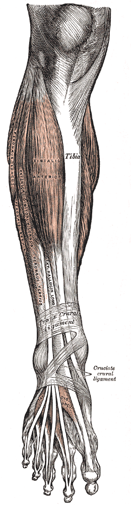 Muscles of the front of the leg.