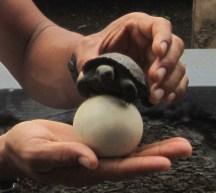 tortue des galapagos - oeuf - bébé