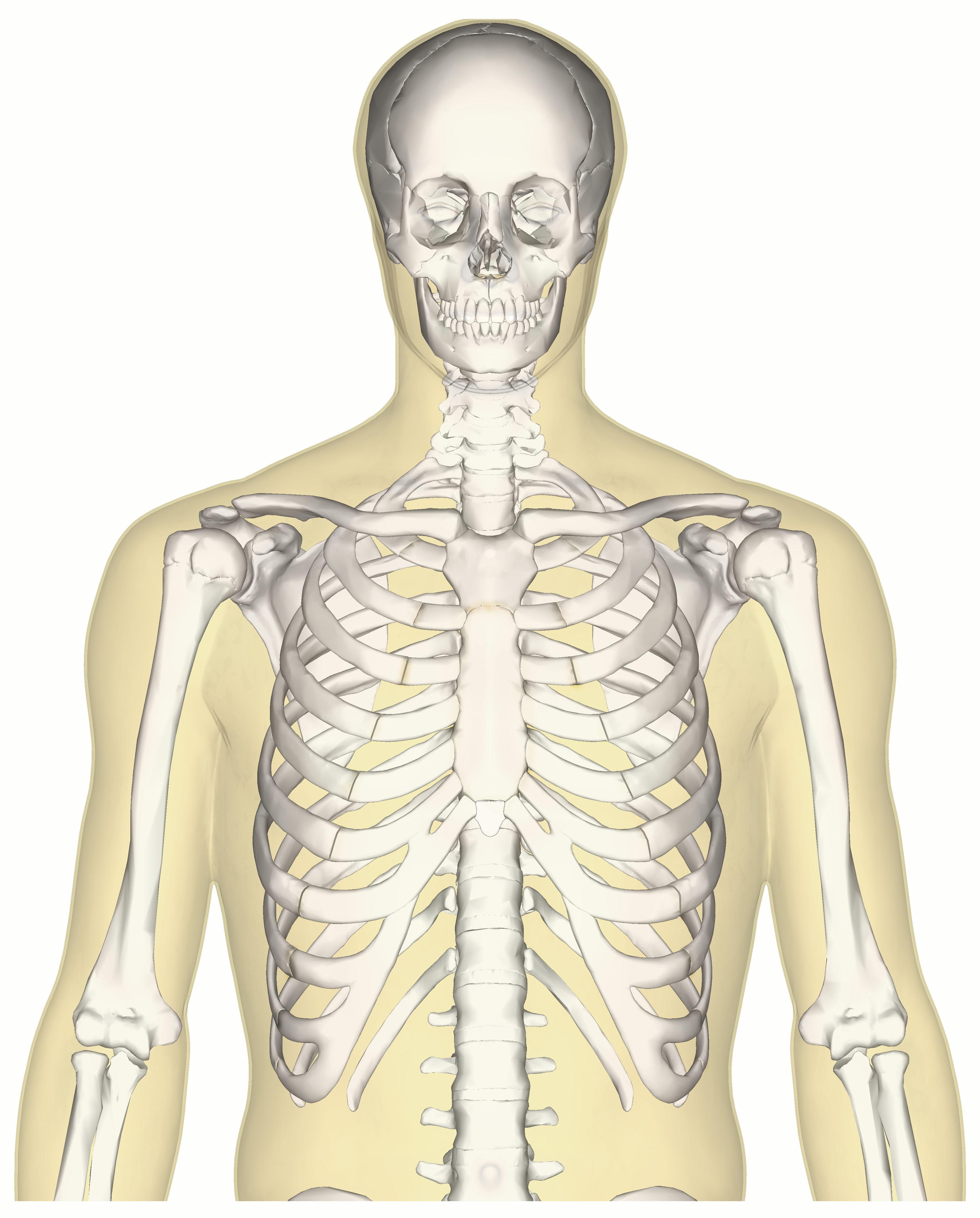 File Human Skeleton Upper Body Anterior View