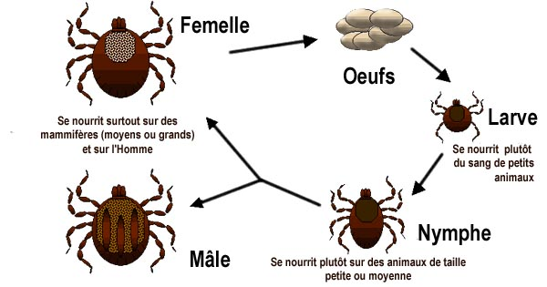 English: Deer Tick life cycle diagram