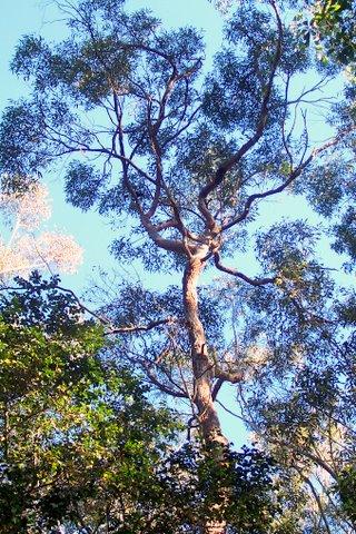 Eucalyptus Resinifera Wikipedia