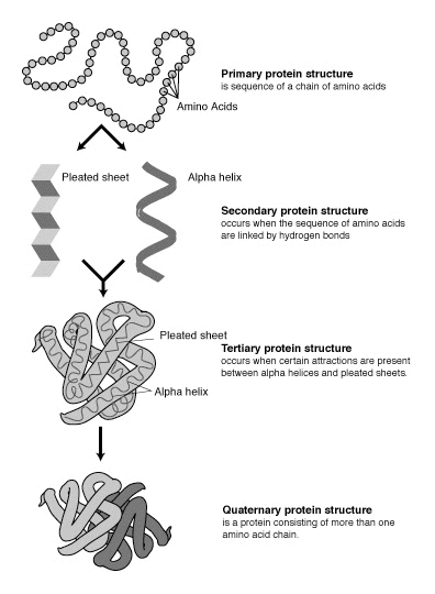 Diagram of the primary, secondary, tertiary and quaternary structure of proteins