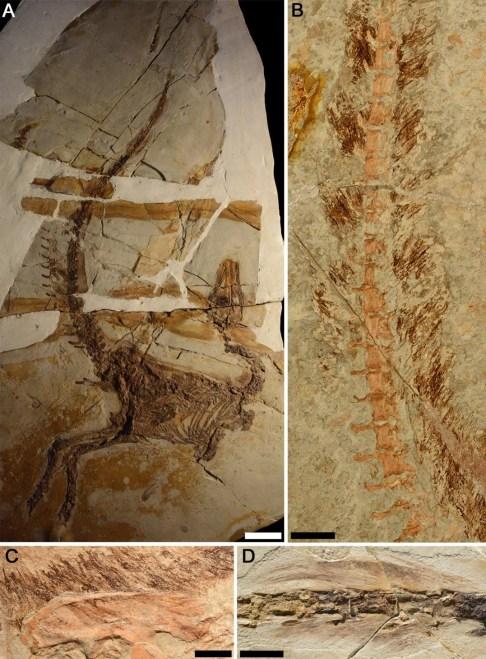 https://i2.wp.com/upload.wikimedia.org/wikipedia/commons/a/a7/Sinosauropteryx_plumage_fossils.jpg?resize=486%2C659&ssl=1