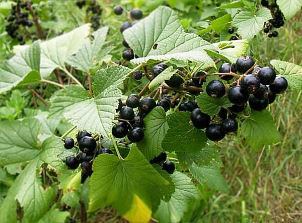 Blackcurrant leaf juice (1/6)