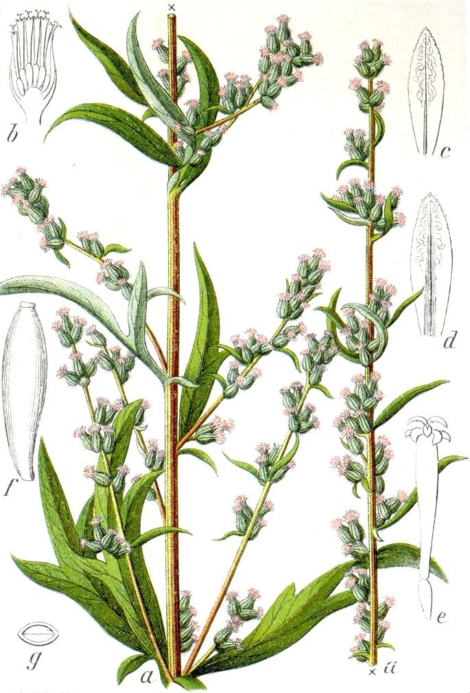 File:Artemisia vulgaris Sturm13035.jpg - Wikimedia Commons