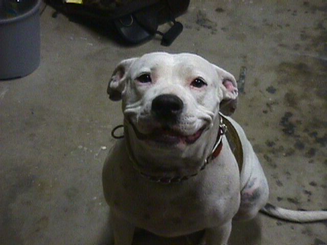 Pit bull terrier, smiling Pitbull Dog History