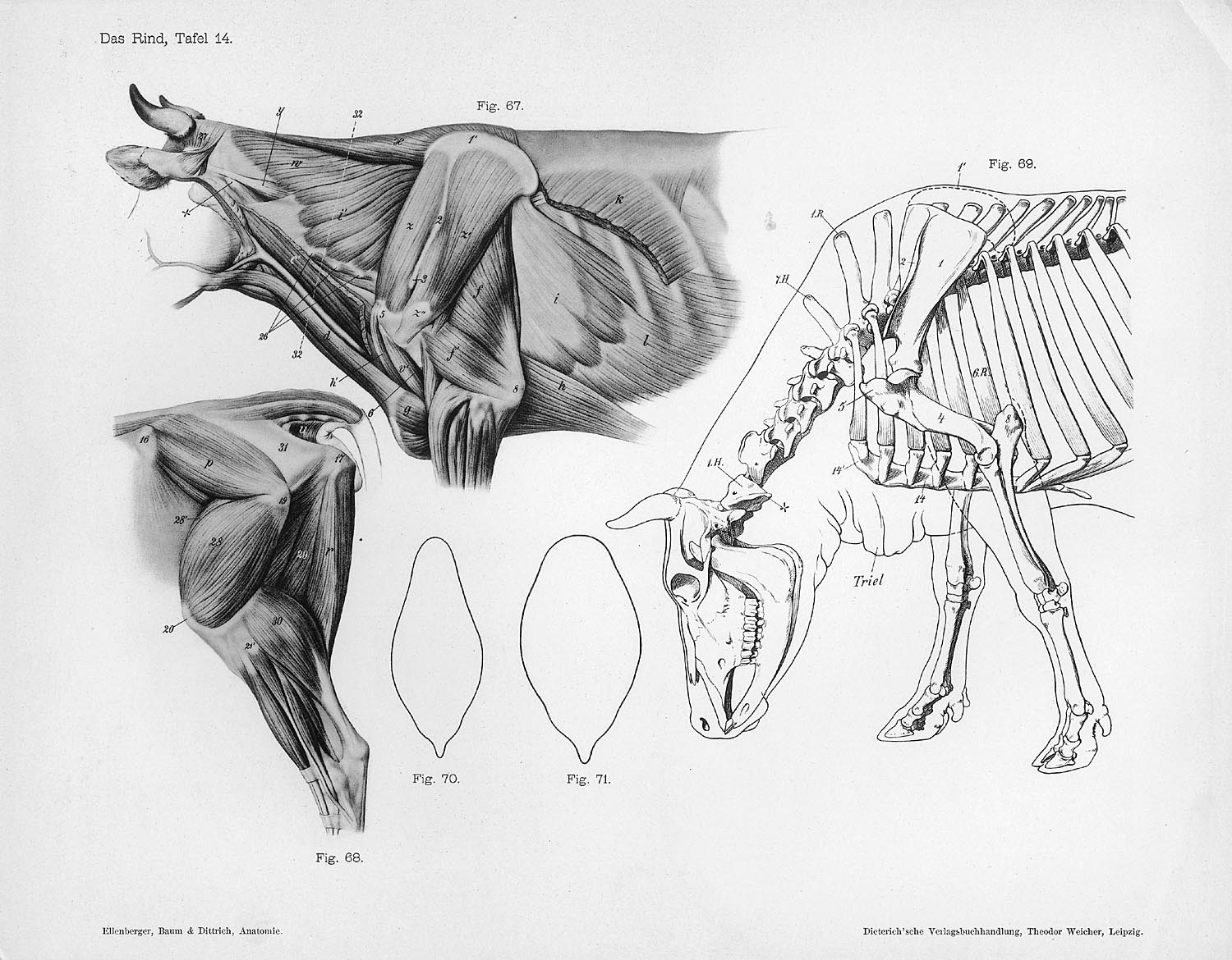 File Cow Anatomy Musculature