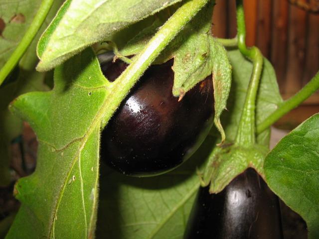 File:Eggplant.jpg