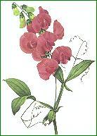 everlasting pea or sweet pea (Lathyrus), paint...