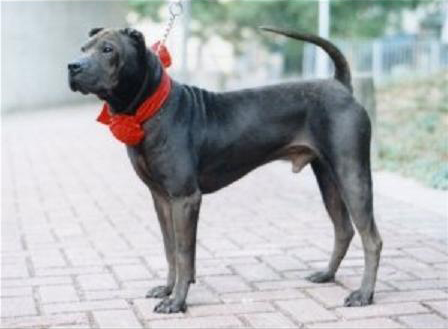 Dragongate Mong Jai Pitbull Dog Types