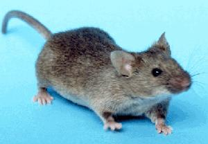 File:House mouse.jpg