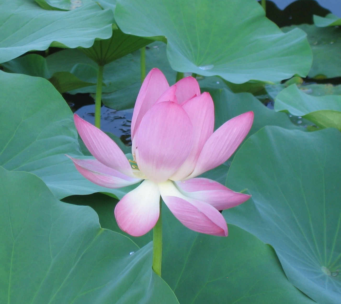 English: pink lily flower
