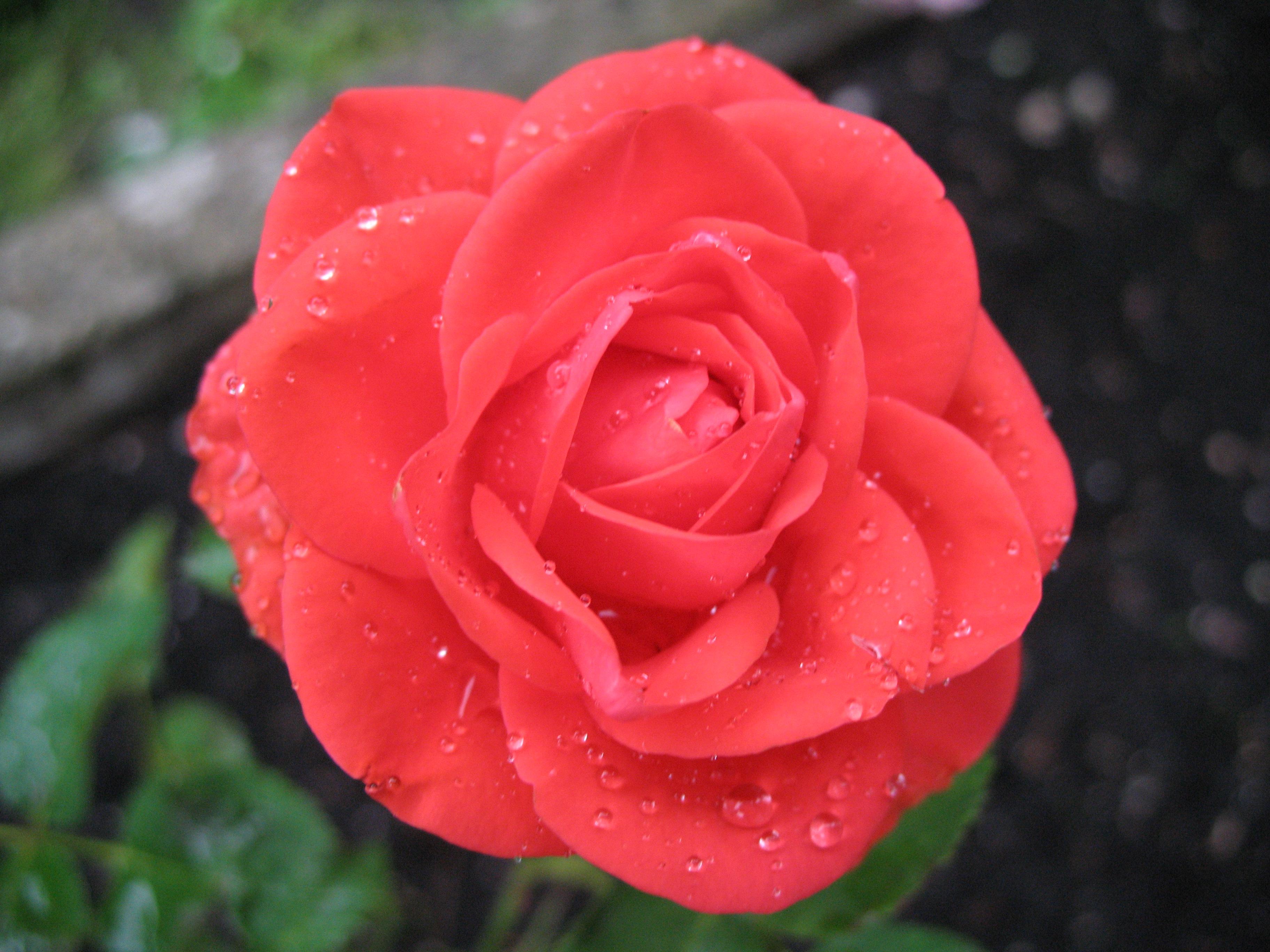 Rose to feel better
