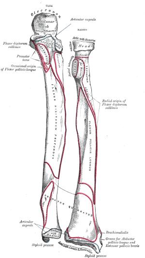 Ulnar notch of the radius  Wikipedia