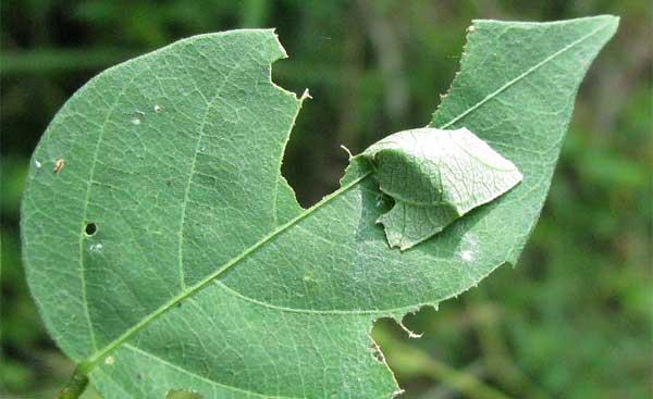 File:Pupa-in-leaf.jpg