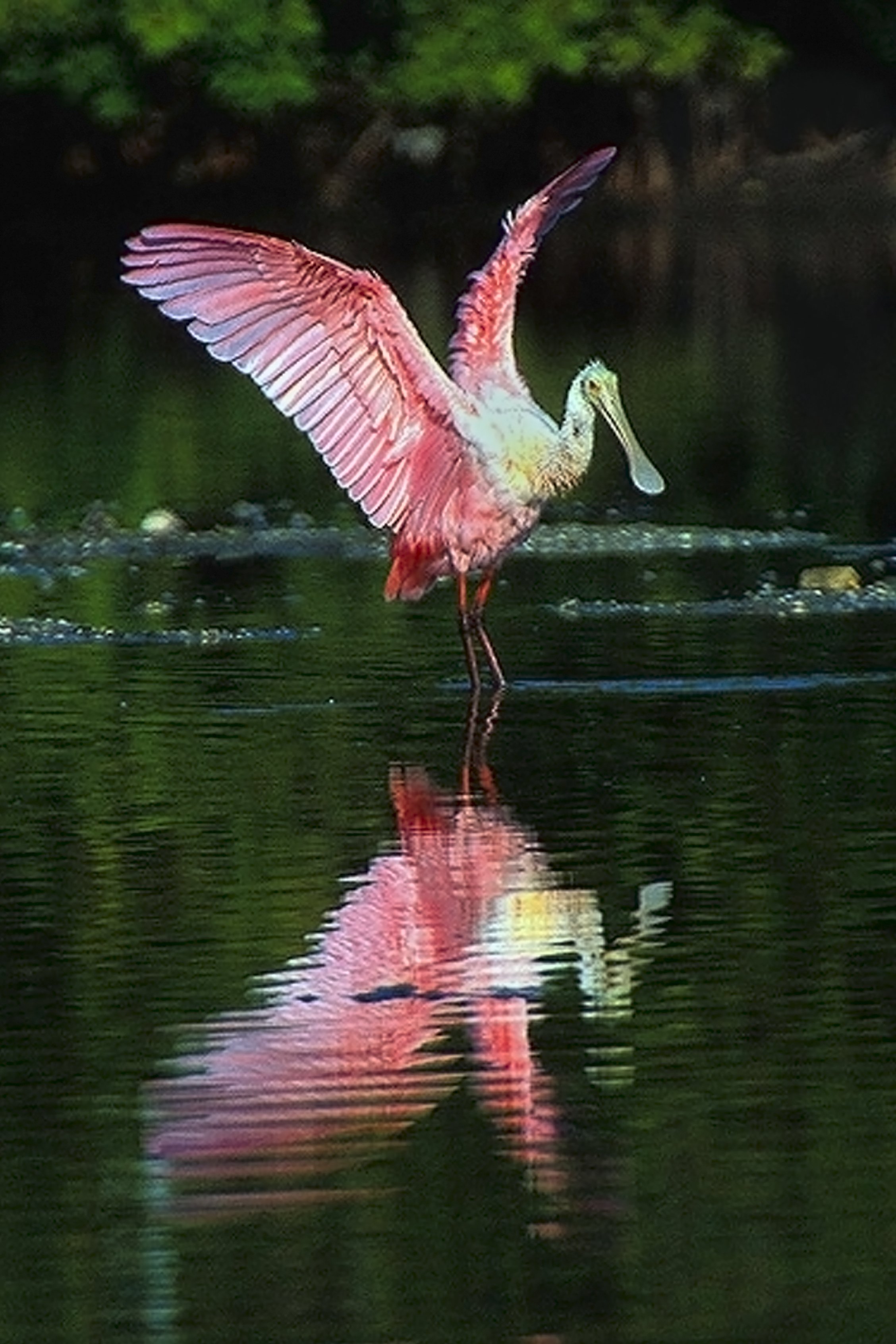FileRoseate Spoonbill At Ding Darling NWR Sanibel FL