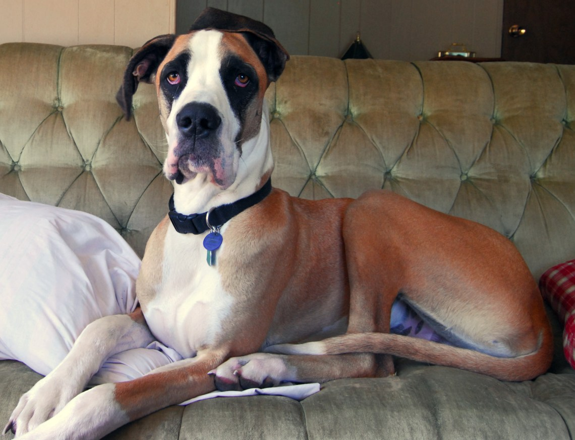 Great Dane fawn mantle couch The Biggest Pitbull Dog In The World