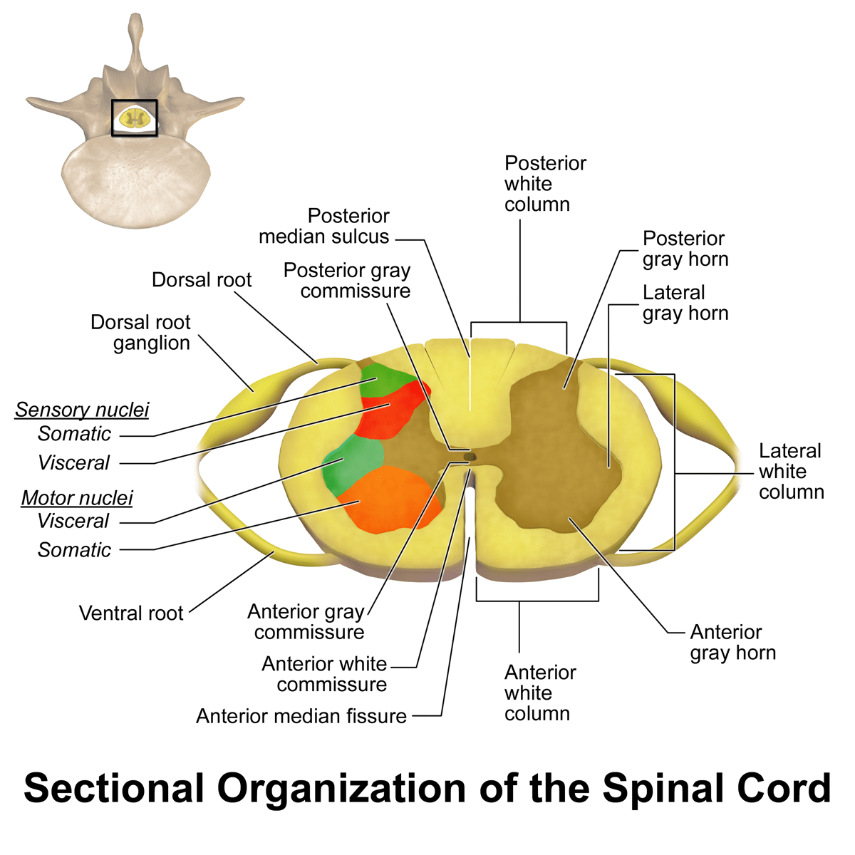File Spinal Cord Sectional Anatomy