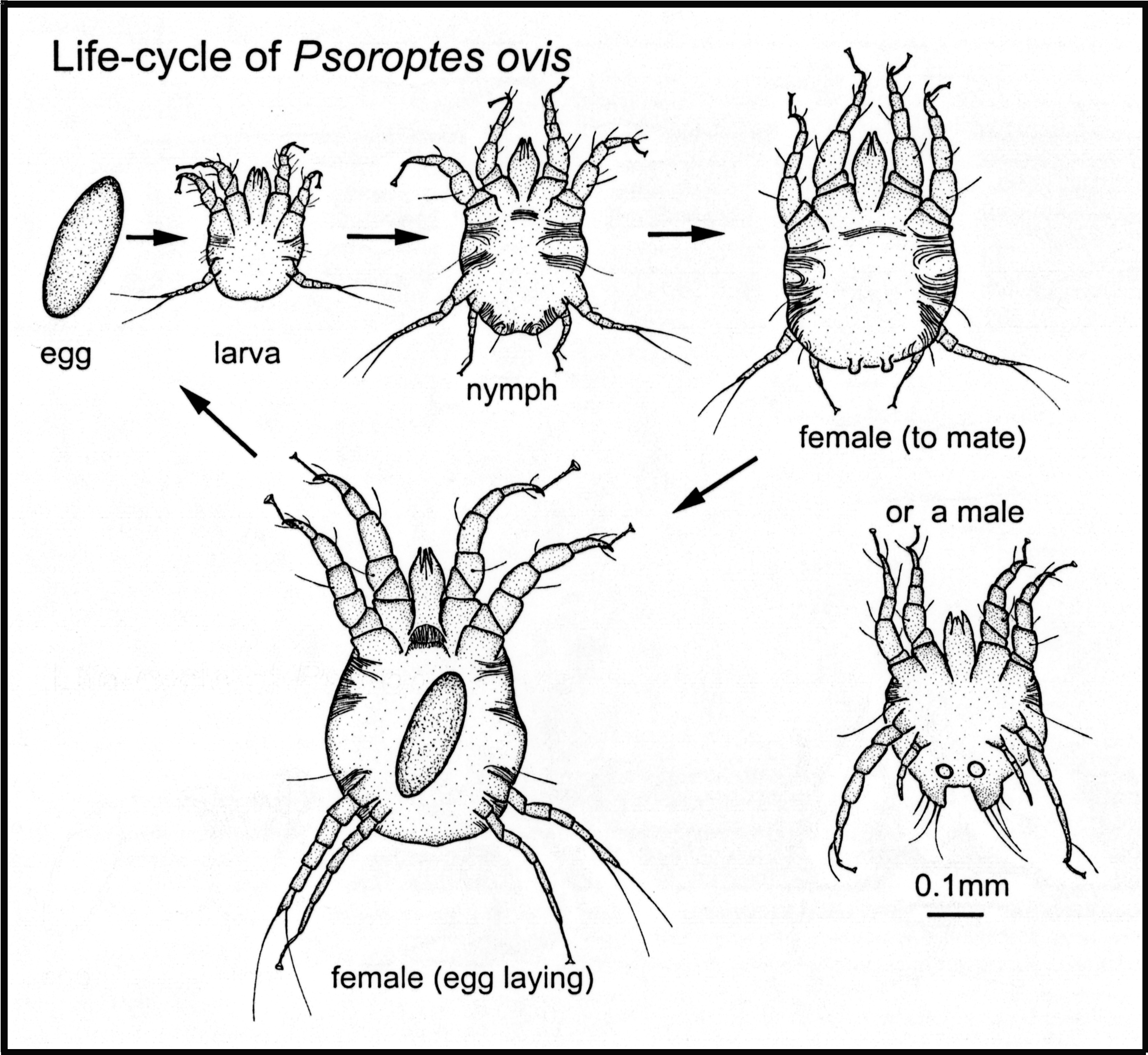 File Life Cycle Psoroptes Ovis Mite