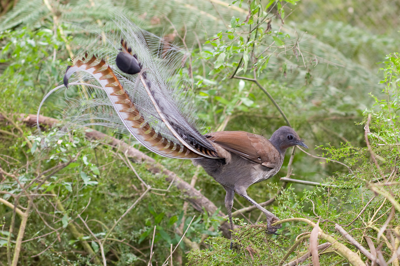 The tail feathers of a Lyre Bird facing away from camera in a tree