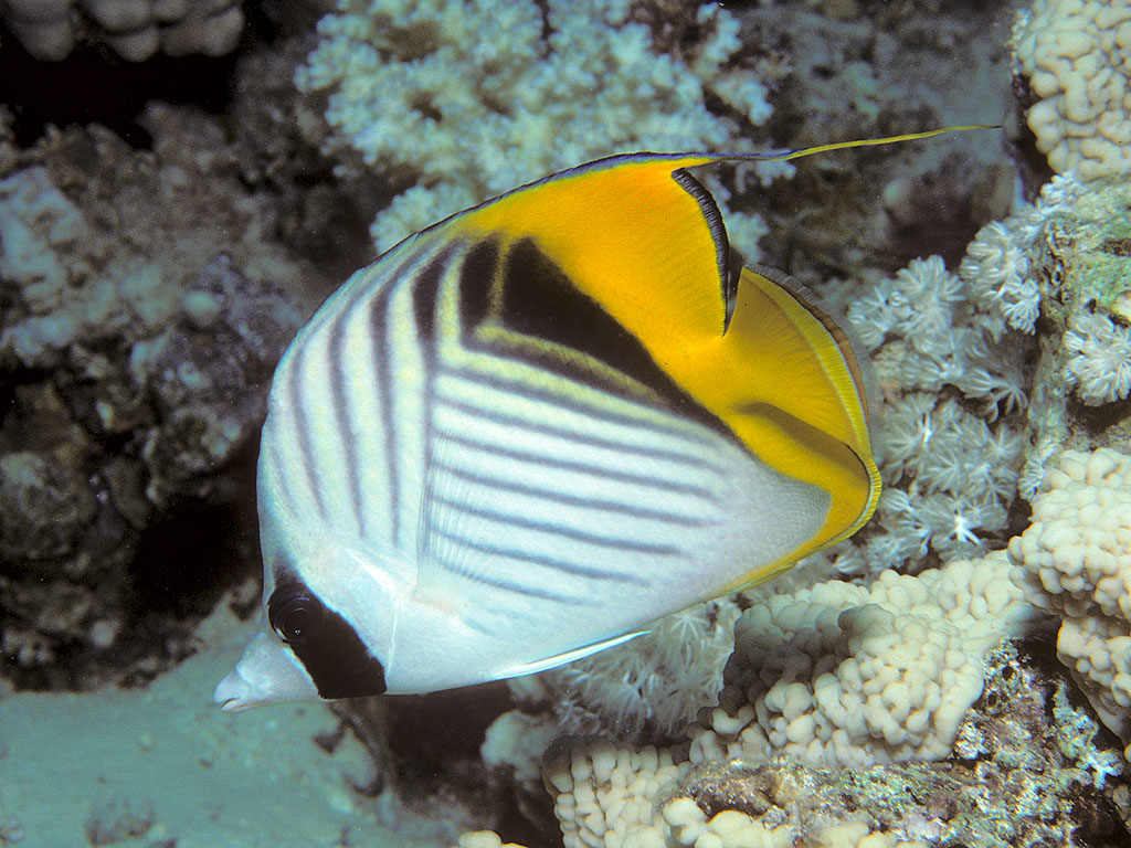 Butterfly Fish I Have Seen On Pinterest Phuket Thailand