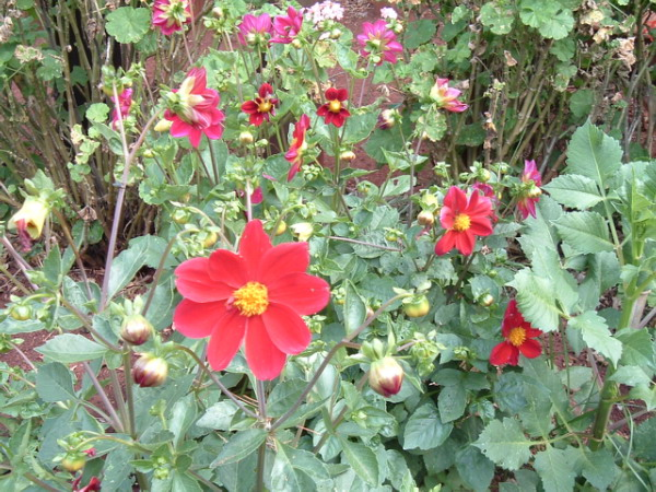 dahlia simple - une bonne plante mellifere à ne pas négliger dans son jardin