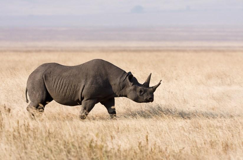 Image result for rhinoceros in tanzania