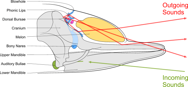 Schematic diagram of sound production and reception in a toothed whale