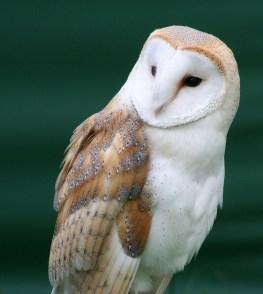 Tyto Alba. (Source: Wikipedia)