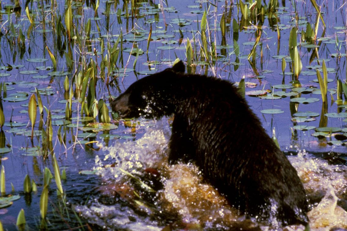 Black Bear Cub (Ursus americanus) by RI Bridges