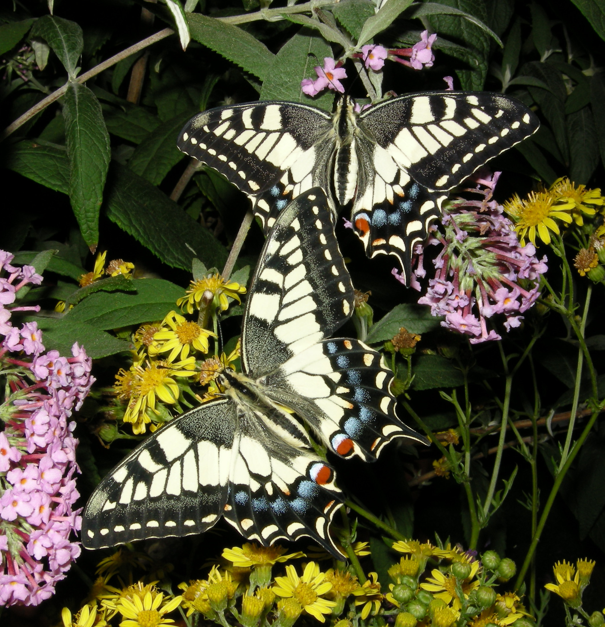 English: Old World Swallowtails on some flower...