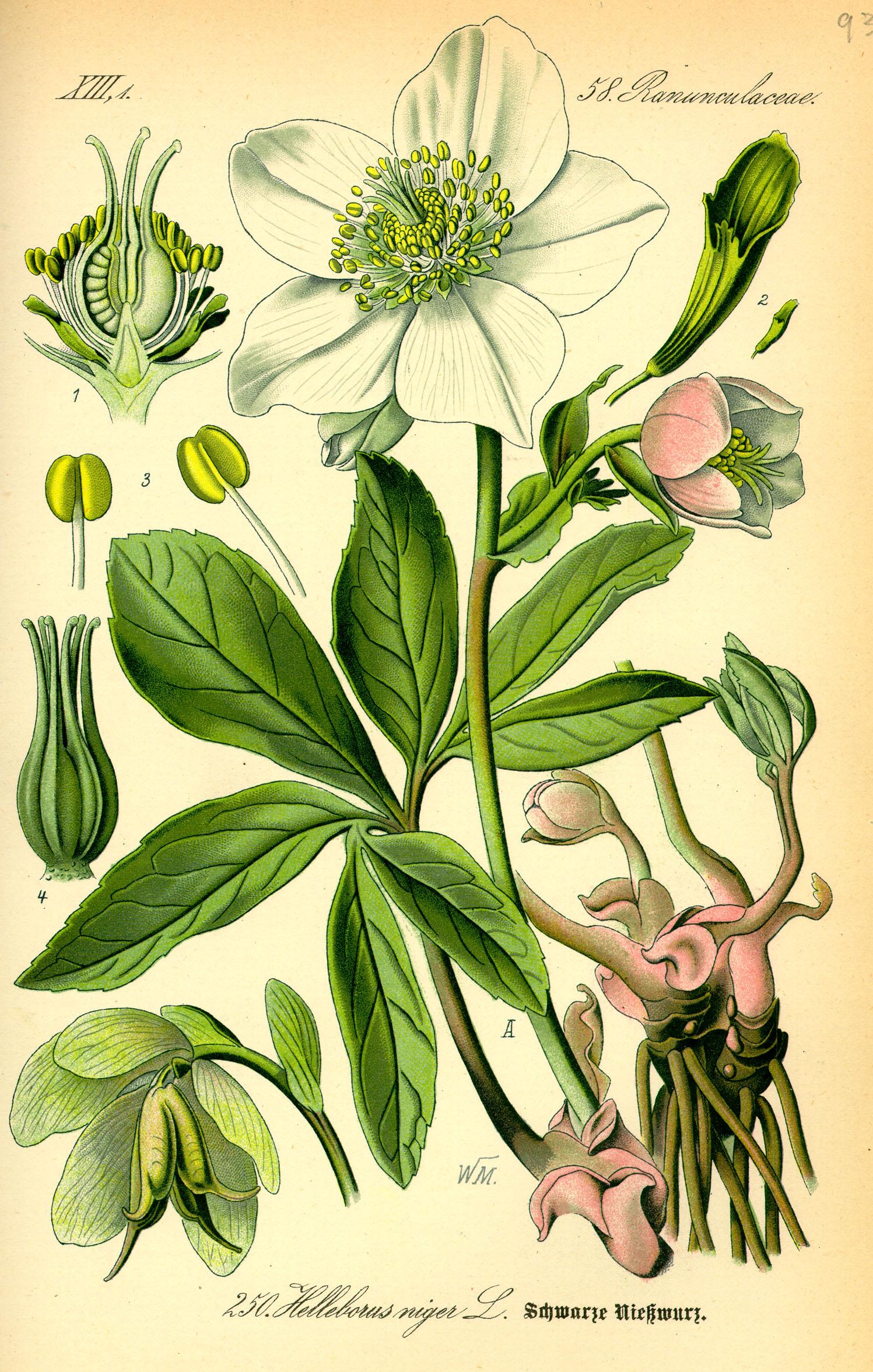 https://i2.wp.com/upload.wikimedia.org/wikipedia/commons/b/b0/Illustration_Helleborus_niger0.jpg