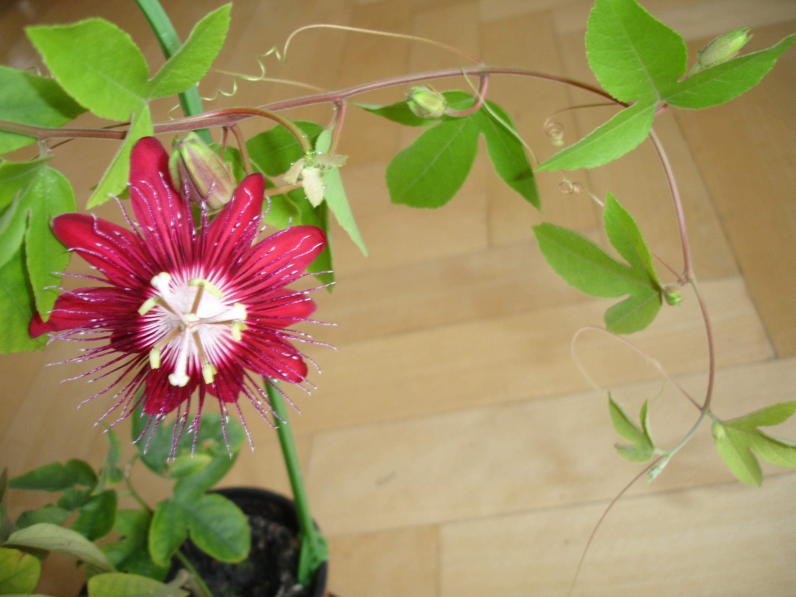 Blog Post 156 Passionflower New World Witchery The Search For