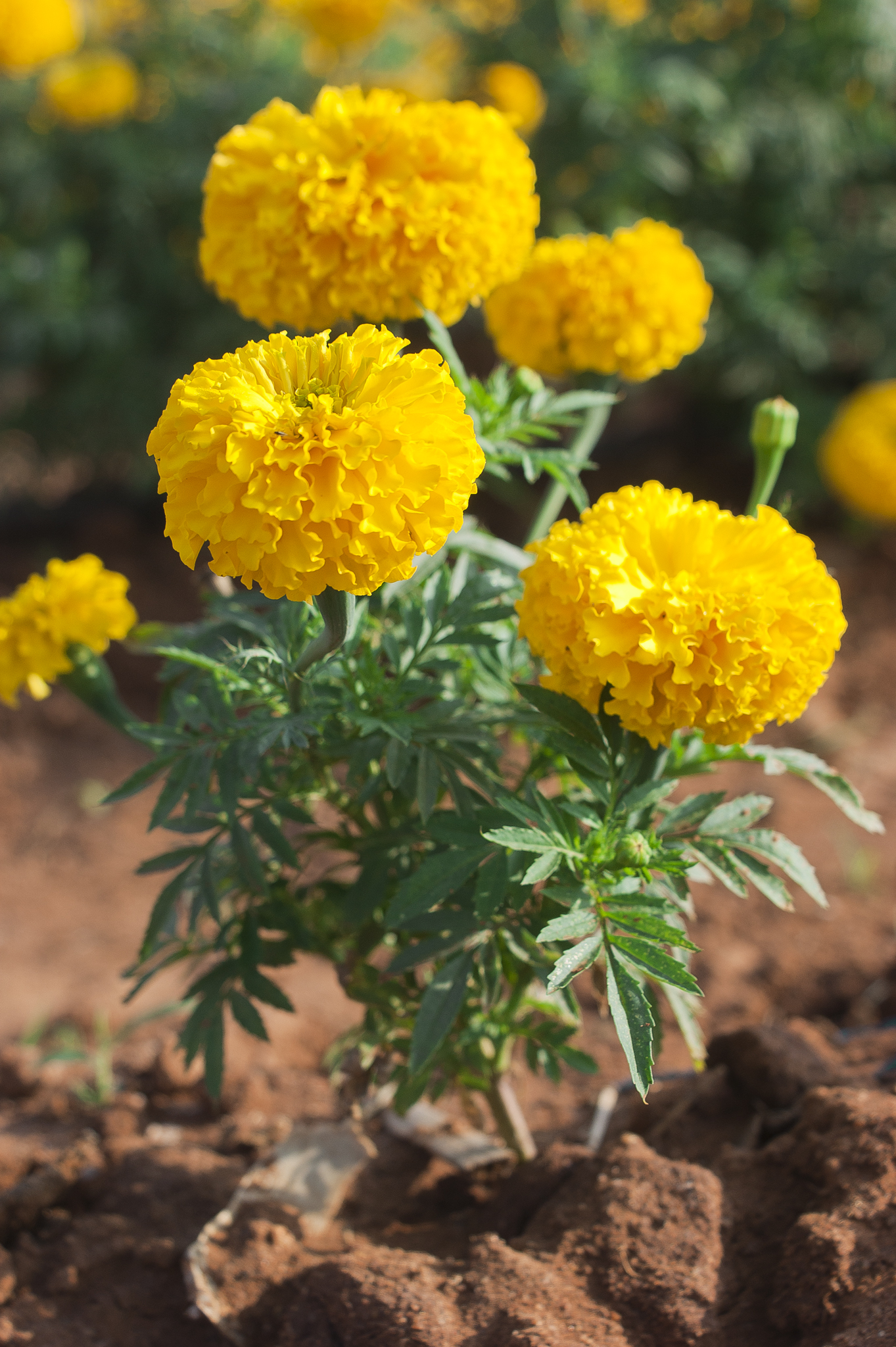 Tagetes   Wikipedia African marigold