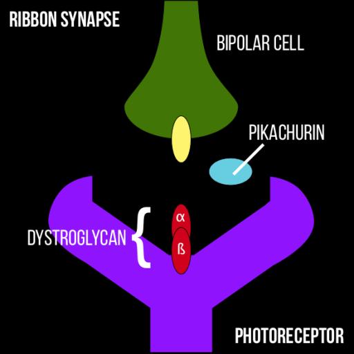 Ribbon Synapse