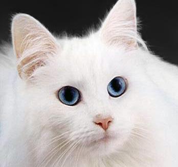 https://i2.wp.com/upload.wikimedia.org/wikipedia/commons/b/b2/WhiteCat.jpg