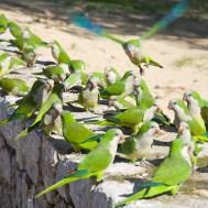 Odgajivačnica kaluđerica papagaja