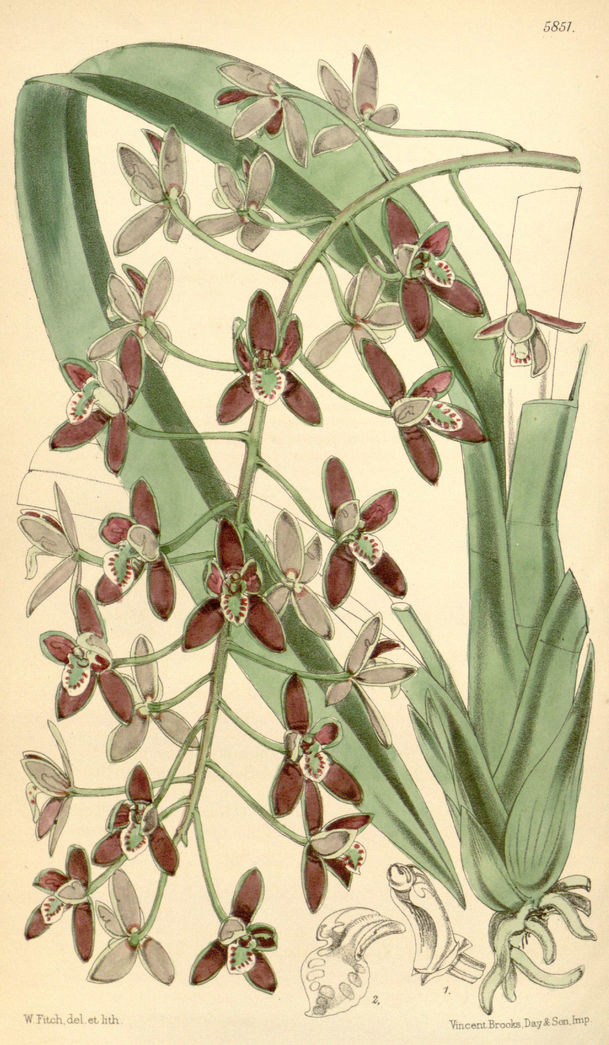 Illustration of Cymbidium canaliculatum