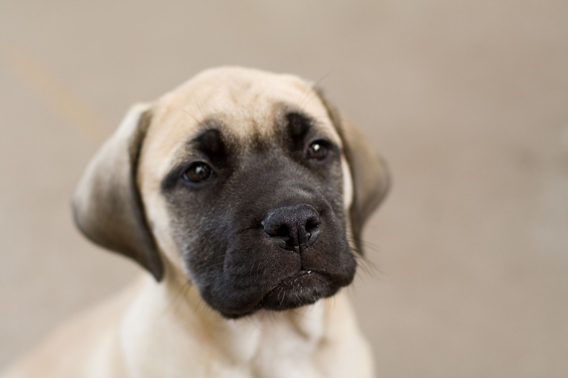 Bullmastiff puppy fawn portrait Puppies For Sale In Md