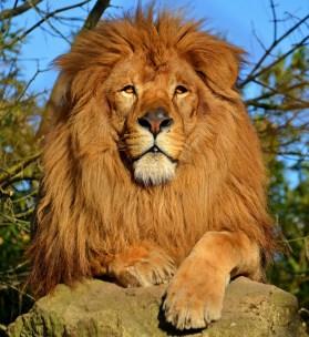 lion - dominant