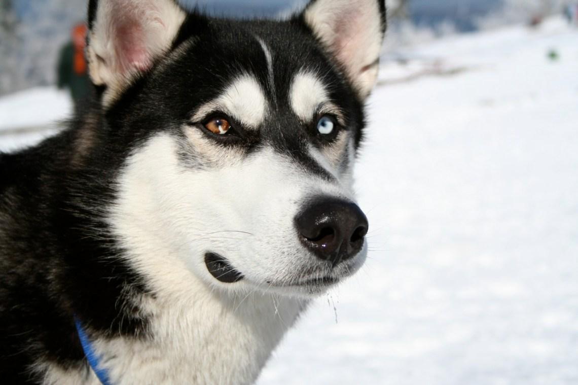 Siberian Husky bi eyed Flickr Goberian Puppies For Sale