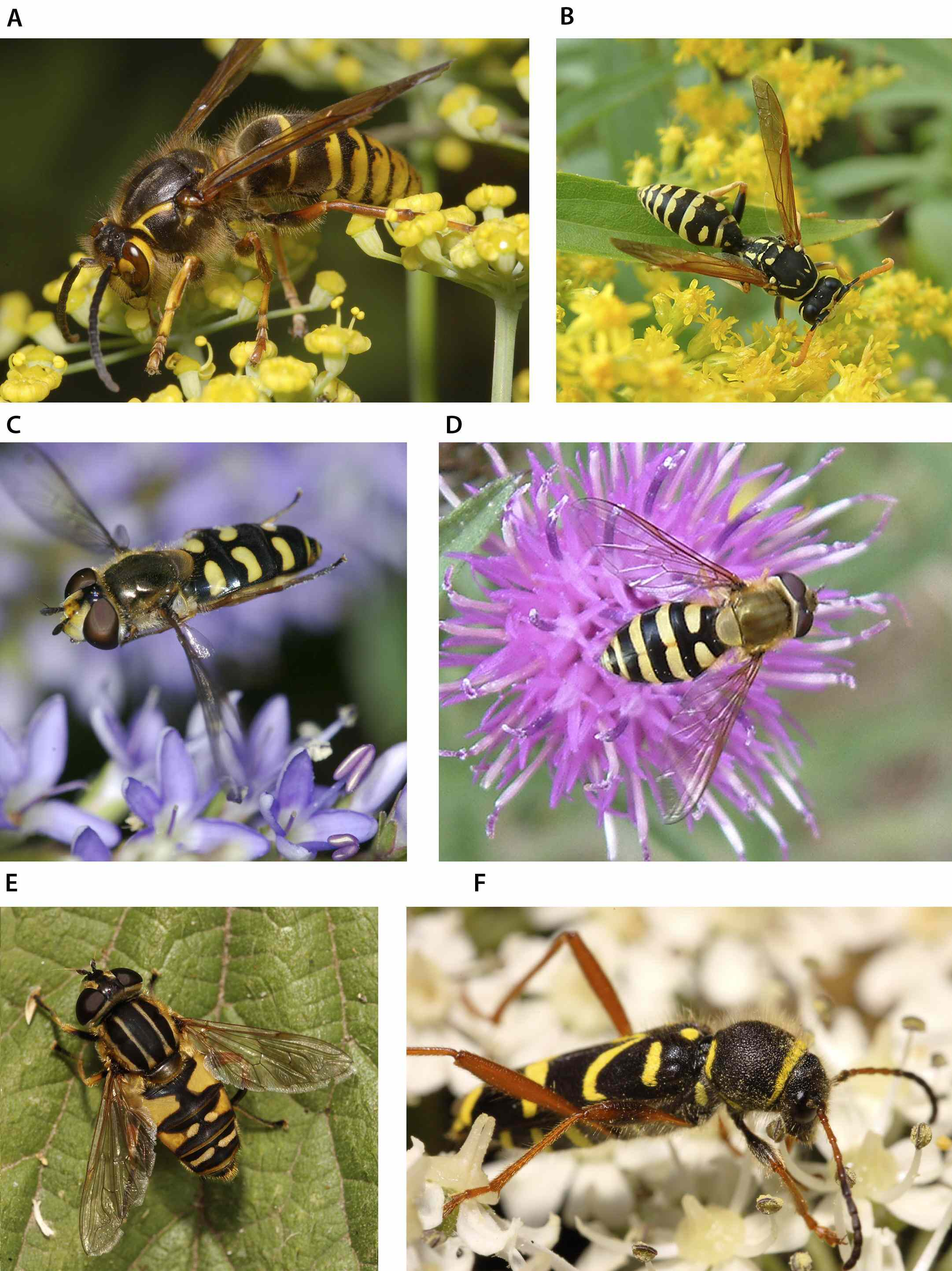 A and B show real wasps; the rest are mimics: ...