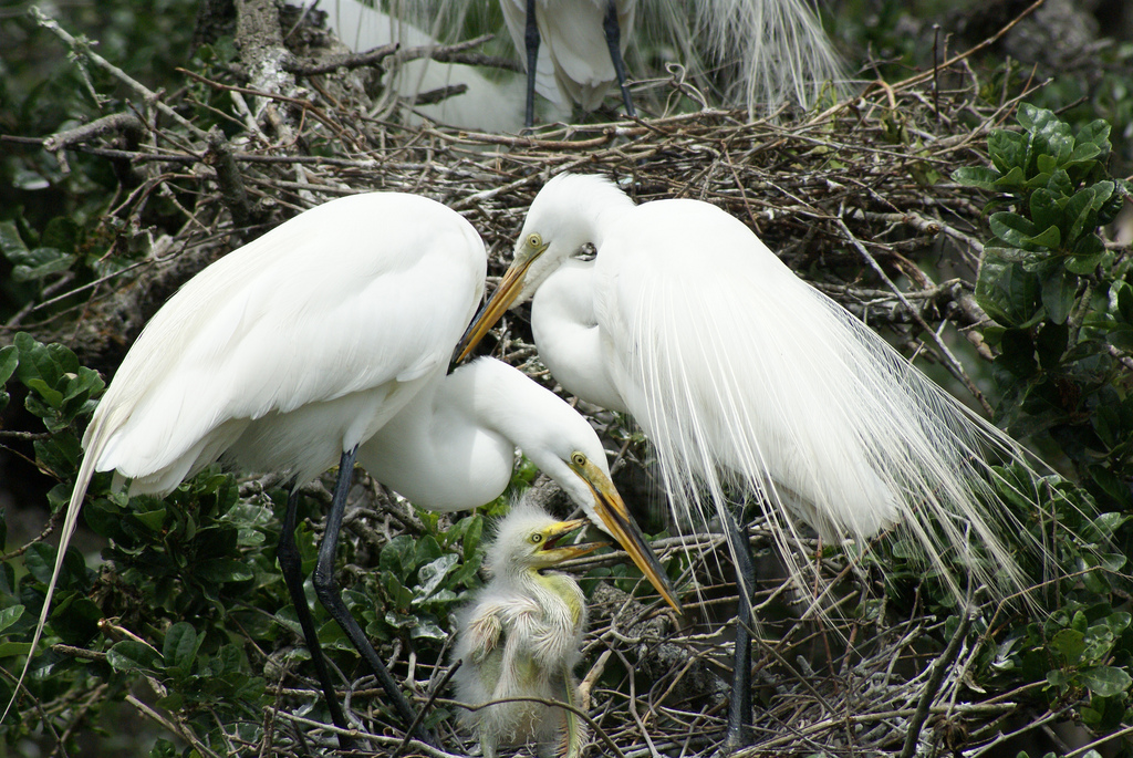 A Great Egret family at a natural rookery at S...