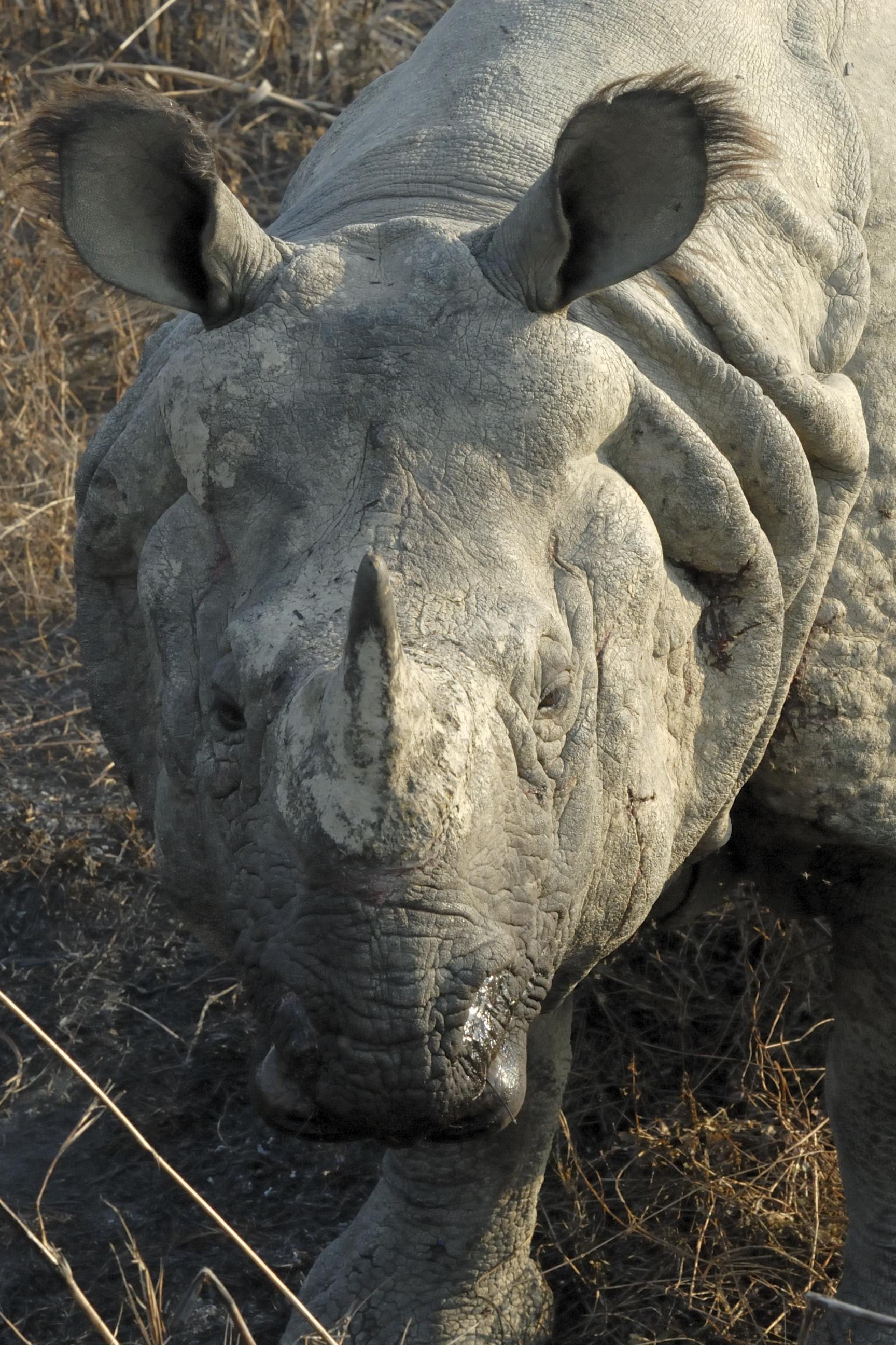 English: Rhinoceros unicornis - Pure Nepalese ...