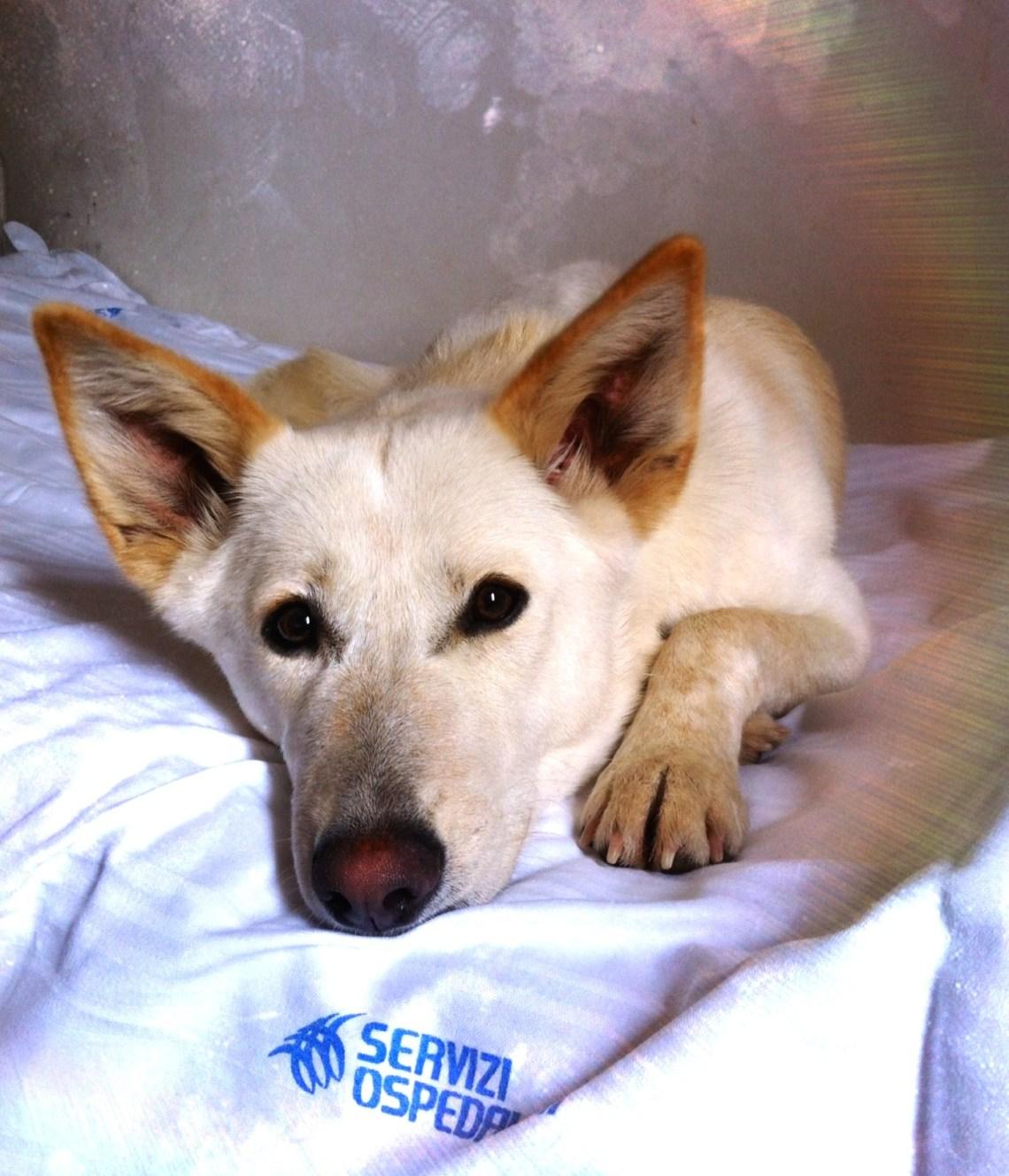 Canaan Dog (una femmina di un anno) Pitbull Dog Breed